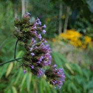 Verbena bonariensis, Urban Jungle
